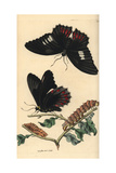 Anchises Cattleheart Butterfly, Parides Anchises Giclee Print by Richard Nodder