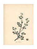 Balsam of Gilead Tree, Commiphora Gileadensis Reproduction procédé giclée par M.A. Burnett