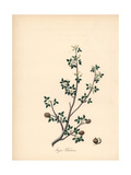 Balsam of Gilead Tree, Commiphora Gileadensis Giclee Print by M.A. Burnett