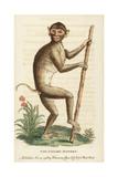Pig Tailed Macaque, Macaca Nemestrina Giclée-trykk av George Edwards