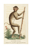 Pig Tailed Macaque, Macaca Nemestrina Giclee Print by George Edwards