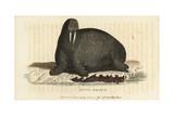Walrus, Odobenus Rosmarus Giclee Print