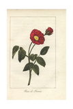 Scarlet Provence Rose, Rosa Gallica Giclee Print by Mlle. Prudhomme