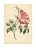 Dog Rose, Rosa Canina Giclee Print by James Andrews