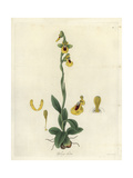 Yellow Ophrys Orchid, Ophrys Lutea Giclee Print by William Jackson Hooker