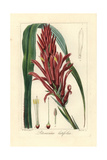 Broad Leaved Pitcairnia, Pitcairnia Bifrons Giclee Print by Pancrace Bessa