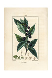Laurel Tree, Laurus Nobilis Giclee Print by Pierre Turpin