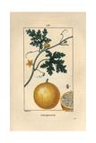 Bitter Apple, Citrullus Colocynthis Giclée-Druck von Pierre Turpin