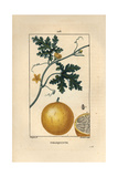 Bitter Apple, Citrullus Colocynthis Giclee Print by Pierre Turpin