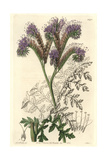 Tansy-Leaved or Lacy Phacelia, Phacelia Tanacetifolia Giclee Print by Sarah Drake