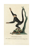 Red-Faced Spider Monkey, Ateles Paniscus Giclee Print by George Edwards