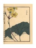 Leopard Plant, Farfugium Japonicum Giclee Print by Bairei Kono