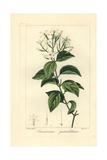 Stiff Jasmine, Jasminum Simplicifolium Subsp Australiense Giclee Print by Pancrace Bessa