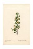 Thousand-Spined Rose, Rose Myriacantha Giclee Print by Pierre-Joseph Redouté
