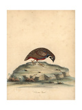 Blue Breasted Quail, Coturnix Chinensis Giclee Print by William Hayes