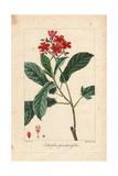 Fiddlehead Jatropha, Jatropha Pandurifolia Giclee Print by Pancrace Bessa