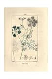 Coriander or Cilantro, Coriandrum Sativum Giclee Print by Pierre Turpin