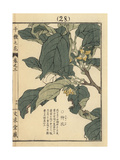 Japanese Persimmon Flower, Diospyros Kaki Giclee Print by Bairei Kono