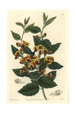 Broad-Leafed Brown Pea, Bossiaea Ornata Giclee Print by Sarah Drake