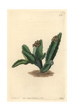 Sicilian Stapelia, Caralluma Europaea Giclee Print by Sarah Drake