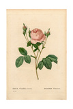 Vilmorin Rose, Rosa Centifolia Vilmorin Giclee Print by Pierre-Joseph Redouté