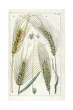 Barley, Winter Barley, Sprat Barley and Six-Row Barley Impression giclée