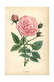 Hermosa Rose, Variety of Ile-Bourbon Giclee Print by Francois Grobon