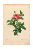 Andre Du Pont's Rose, Rosa Gallica Variety Giclee Print by Pierre-Joseph Redouté