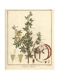 Red Acacia or Shittah Tree, Acacia Seyal Giclee Print by F. Guimpel