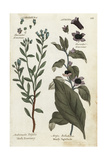 Marsh Rosemary and Deadly Nightshade Giclee Print