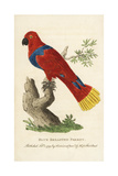 Female Eclectus Parrot, Eclectus Roratus Giclee Print by Peter Brown