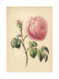 Cabbage Rose, Rosa Centifolia Giclee Print by James Andrews