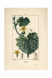 Melon Flower, Cucumis Melo Giclee Print by Pierre Turpin