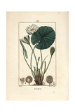 White Water Lily, Nymphaea Alba Giclee Print by Pierre Turpin