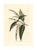 Pansra or Binda, Colebrookia Oppositifolia, Indian Shrub Giclee Print by George Cooke