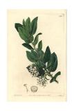 Woollyleaf Manzanita, Arctostaphylos Tomentosa Giclee Print by Sarah Drake