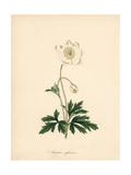 Snowdrop Anemone, Anemone Sylvestris Giclee Print by M.A. Burnett