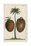 Coconut Palm Tree with Coconuts, Cocos Nuficera Digitálně vytištěná reprodukce