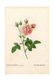 Agathe Royale Rose, Rosa Gallica Variety Giclee Print by Pierre-Joseph Redouté