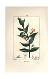 Hedge Hyssops, Gratiola Officinalis Giclee Print by Pierre Turpin
