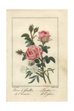 Hemp-Leaved Rose, Rosa Cannabina, and Lustre D'Eglise, Rosa Gallica Giclee Print by Pancrace Bessa