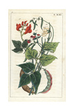 Common Bean, Scarlet Runner Bean, Dwarf or French Bean Giclee Print