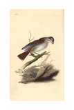 Red-Backed Shrike (Female), Lanius Collurio Reproduction procédé giclée par Edward Donovan