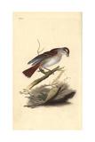 Red-Backed Shrike (Female), Lanius Collurio Giclee Print by Edward Donovan