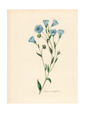 Common Flax or Linseed, Linum Usitatissimum Giclee Print by M.A. Burnett