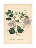 Common Caper and Rock Caper, Capparis Spinosa Giclee Print by M.A. Burnett