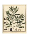 Olive Tree, Olea Europaea Reproduction procédé giclée par F. Guimpel
