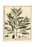 Olive Tree, Olea Europaea Giclée-Druck von F. Guimpel