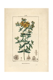 Perforated St John's Wort, Hypericum Perforatum Giclee Print by Pierre Turpin