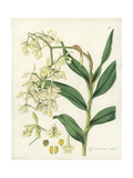 Nodding Epidendrum Orchid, Epidendrum Nutans Giclee Print by William Jackson Hooker